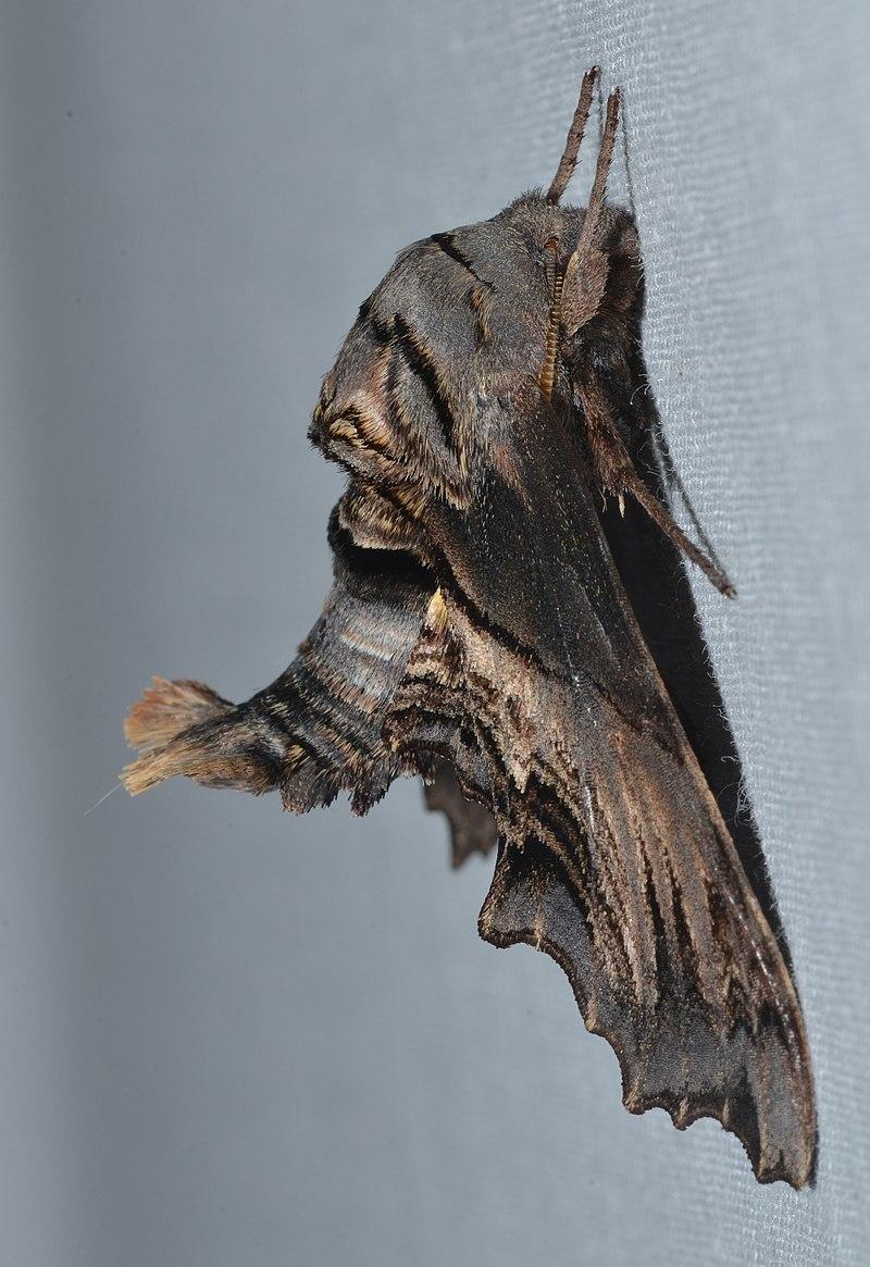 Abbot's-Sphinx-Moth-1.jpg